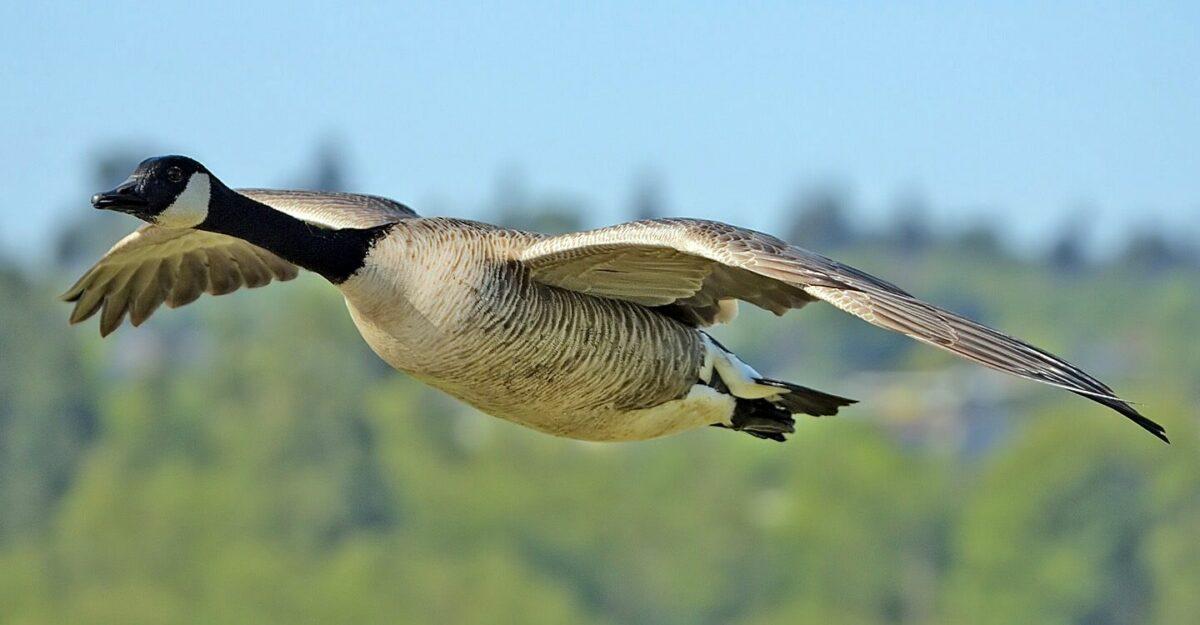Uitspraak Raad van State: Provincie mag toestemming geven voor het doden van alle Zuid-Hollandse Canadese ganzen