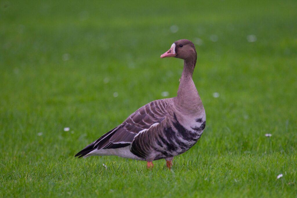 Acht nieuwe belangrijke vogelgebieden in Zuid-Holland geïdentificeerd