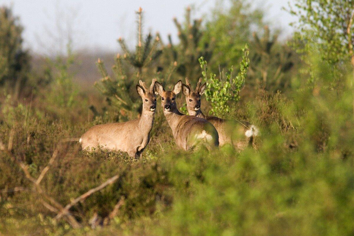 Reactie op concept faunabeheerplan ree
