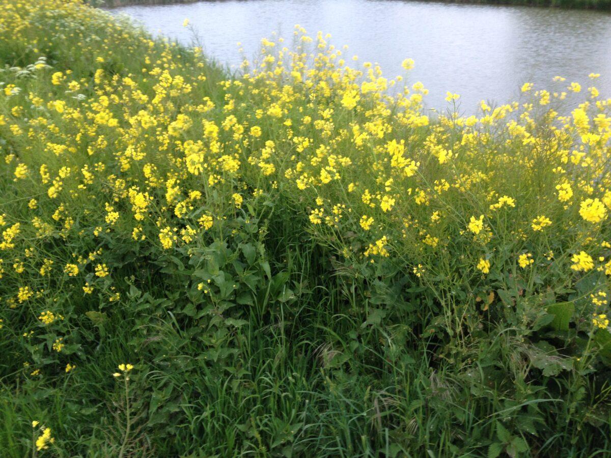 Gele bloeiende bermen: een vrolijk gezicht, of toch niet?