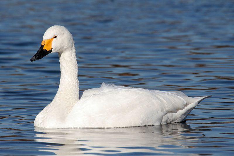 Afschot knobbelzwanen Zuid-Holland risicovol voor kleine zwaan