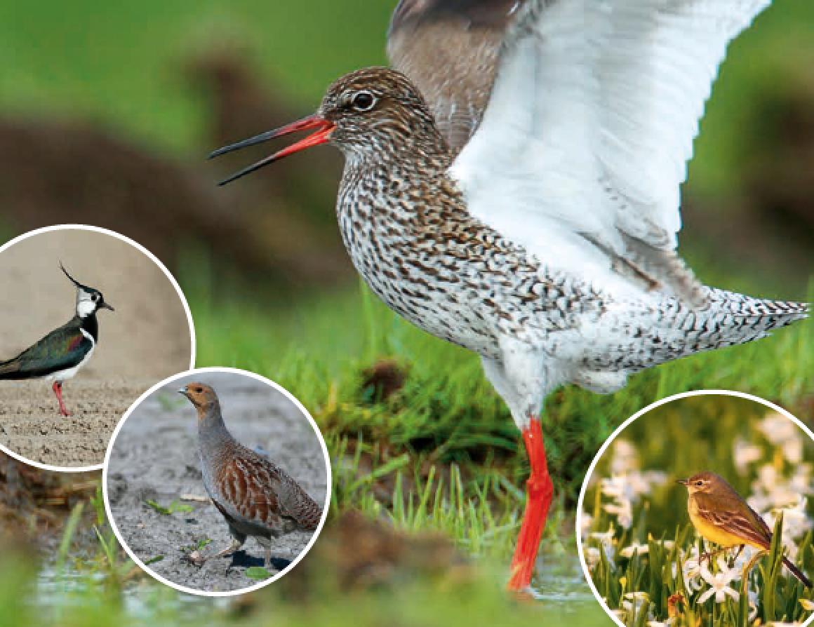 Provincie investeert 1,4 miljoen euro in bedreigde boerenlandvogels